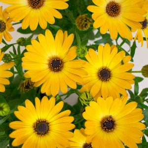 Cape Daisy Flowers