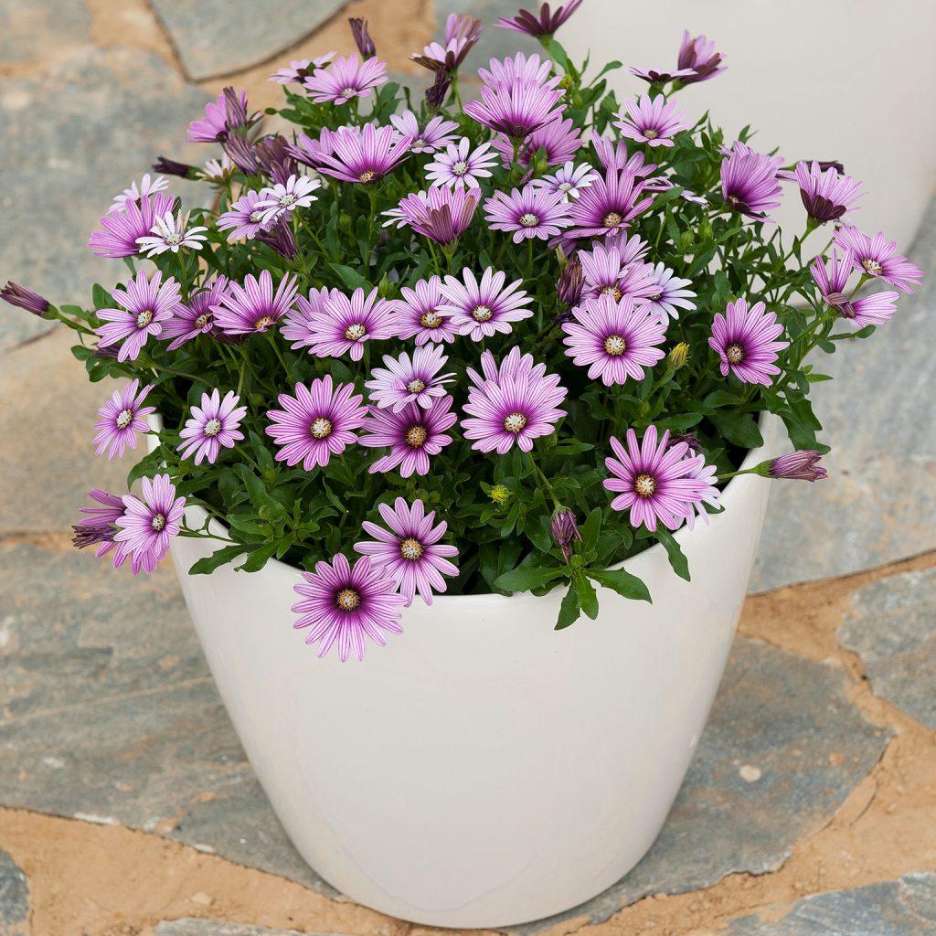 Cape Daisy Flowers